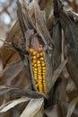 Drought damaged corn crop Royalty Free Stock Photo