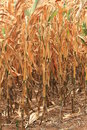 Drought leaves dry corn Royalty Free Stock Photo