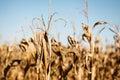 Drought Stricken Corn Field Royalty Free Stock Photo