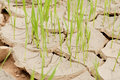 Drought young crops growing on cracked soil Royalty Free Stock Images