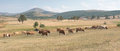 Drove of cows on a meadow grazing sunny day Royalty Free Stock Photo