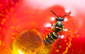 Drown wasp in a wine bee or Stock Image