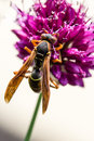 Drumstick allium flower bloom and wasp a closeup of a perennial with pollinating the Royalty Free Stock Photo