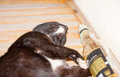 Drunk cat after party Stock Photography