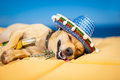 Drunk mexican dog chihuahua having a siesta with crazy and funny silly face Royalty Free Stock Photography