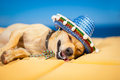 Drunk mexican dog chihuahua having a siesta with crazy and funny silly face Stock Photos