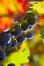 Druvarött vin Fotografering för Bildbyråer