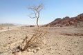 Dry acacia tree in the desert Royalty Free Stock Photo