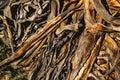 Dry Aloe Vera Plant In Nature