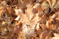 Dry autumn leaves Royalty Free Stock Photography