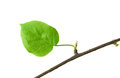 Dry branch with leaf Royalty Free Stock Photo