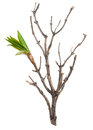 Dry branch with leaf buds Royalty Free Stock Photo