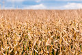 Dry brown corn stalks on blurred field Royalty Free Stock Photo