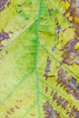 Dry brown leaf texture teak Royalty Free Stock Photo