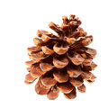 Dry brown Pine cone Royalty Free Stock Images