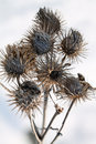 Dry burdock heads Royalty Free Stock Photo