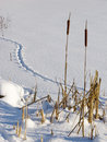 Dry cattails at frozen lake Stock Photo