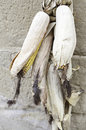 Dry corn cobs detail of cereal drying outdoors food and healthy food Royalty Free Stock Images
