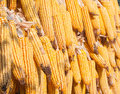 Dry corn dried hanging whole grain food Royalty Free Stock Photo