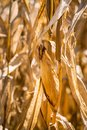 Dry corn plants close up Stock Photo
