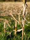Dry corn stacks Royalty Free Stock Photo
