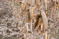 Dry corn stalks Stock Image