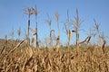 Dry corn stalks Royalty Free Stock Photo