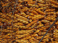 Dry Corn Storage. Silage corn background Royalty Free Stock Photo