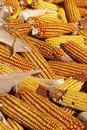 Dry corncob pile on a farm Stock Photo