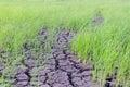 Dry country rice farm Royalty Free Stock Photo