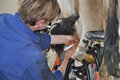 Dry cow therapy farmer injects into s teats at end of milking season west coast new zealand Stock Photos