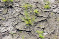 Dry cracked dirt ground with surviving green plant plants Royalty Free Stock Photo