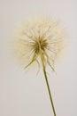 Dry dandelion isolated on cream background