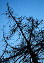 Dry dead pine tree silhouette above deep blue sky Royalty Free Stock Photos