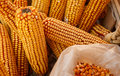 Dry ear corn Stock Images
