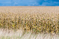 Dry field of corn stalks on dark cloudy sky Royalty Free Stock Photo