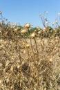 Dry flowers of Milk thistle, Silybum marianum Royalty Free Stock Photo