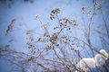 Dry flowers in winter park close up photo with selective focus and blurred blue snow background Royalty Free Stock Photography