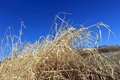 Dry grass against blue sky Royalty Free Stock Photography