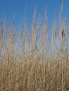 Dry grass on blue sky background Royalty Free Stock Image