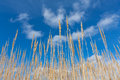 Dry grass on blue sky background Royalty Free Stock Photos