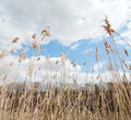 Dry grass on blue sky closeup Stock Photography