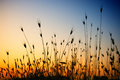 Dry grass at sunset Royalty Free Stock Photo