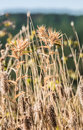 Dry grass and thorny weeds dried out from the summer sun field full of wheat plants Stock Image