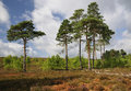 Dry heathland with scots pines trees pinus sylvestris thursley common nnr surrey Stock Images