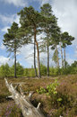 Dry heathland with scots pines trees pinus sylvestris thursley common nnr surrey Royalty Free Stock Photos