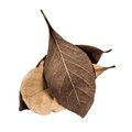 Dry leaf fallen leaves on white background Stock Photo