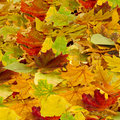 Dry leaves as a background Royalty Free Stock Photo