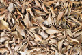 Dry leaves bed of of weeping fig tree Stock Images