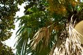 Dry leaves of palm trees and other trees. Tree branches against the sky Royalty Free Stock Photo
